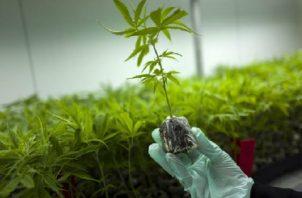 El uso de semillas con fines terapéuticos de esta planta sería autorizado por el Mida. Foto Ilustrativa