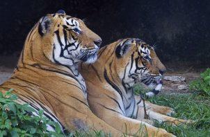 Nepal tiene una población de 235 tigres salvajes, según el último censo elaborado en 2018, casi el doble de los 121 contabilizados en el censo de 2009. Foto: EFE
