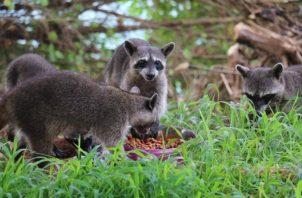 No se debe alimentar a los animales silvestres porque corren el riesgo de tener una mala nutrición.