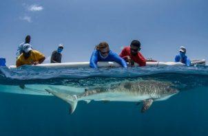 Dra. Rachel Graham midiendo un tiburón de arrecife. Foto: Cortesía