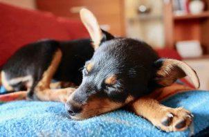 Es una enfermedad que afecta el oído de los perros. Instagram