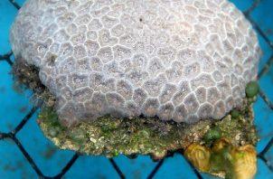 Los Montastraea cavernosa, conocido como gran coral estrella, son los más comunes en el área norte de la barrera coralina de Florida. Foto: EFE