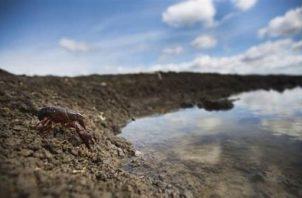 En la foto un cangrejo rojo (Procamburus clarkii), originario del sur de Estados Unidos. Imagen: Javier Diéguez-Uribeondo/Real Jardín Botánico-Consejo Superior de Investigaciones Científicas.