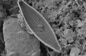 Fotografía cedida por la Universidad Internacional SEK de microscopia electrónica de una navícula (género de algas diatomeas en forma de bote) realizadas en la Universidad de Léon-España.