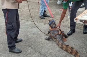 El lagarto fue rescatado por funcionarios de MiAmbiente. Foto: Diómedes Sánchez