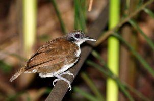 Panamá es paso obligatorio de aves migratorias.