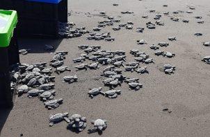 Durante el 2020 se detectaron 383 nidos de tortuga marina, donde solo uno corresponde a la especie Carey con 114 huevos. Foto: Cortesía MiAmbiente