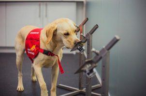Los perros biodetectores pueden identificar el olor de la covid-19 con una tasa de precisión de hasta el 94%. EFE