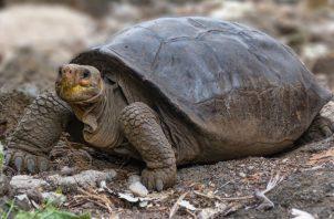 La tortuga de la especie Chelonoidis phantasticus fue encontrada en Galápagos. Foto: Ministerio de Ambiente de Ecuador