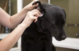 Los ácaros también pueden ser causa de infecciones del oído en tu perro. Foto: Ilustrativa / Pixabay