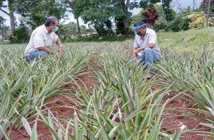 Dentro de la sub cuenca del Canal de Panamá existen dispersos unos 330 productores de piña, ganado, maíz y cucurbitáceas. Foto: Eric Montenegro