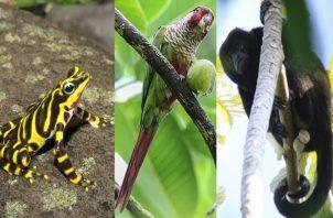 Imagen de la rana arlequín, el loro carato y el mono aullador de Coiba. Foto: Cortesía Mi Ambiente y iNaturalist
