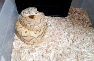 Estos reptiles no son endémicos del país, por lo que pueden causar daños a nuestras especies. Foto: Cortesía Policía Nacional