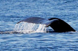 Una ballena jorobada o yubarta. Foto: EFE