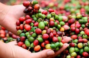 El proyecto está enmarcado en el Programa Centroamericano de Gestión Integral de la Roya del Café. EFE