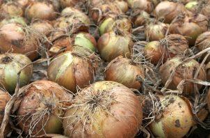 Alrededor de 180 hectáreas de cebolla se tienen programadas cultivar en este ciclo agrícola en la provincia de Coclé. Foto: Archivo