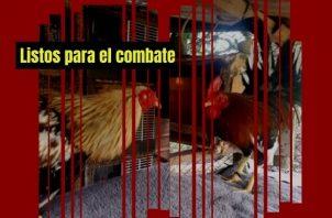 Los gallos se someten a una estricta dieta y entrenamiento. Foto: Gilberto Soto