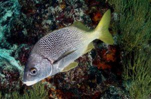 Pez perteneciente a las especie Anisotremus espinoza, una de las dos nuevas especies descritas en la Islas Galápagos y el Pacífico Este Tropical. Foto: EFE
