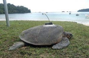 El programa de marcación de tortugas es ejecutado por MiAmbiente, organizaciones y grupos comunitarios. Foto: Cortesía MiAmbiente