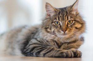 La leucemia felina afecta el sistema inmunológico. Foto: Ilustrativa / Pexels