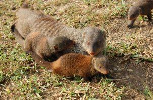 Hembra de mangosta con dos crías. Foto: EFE