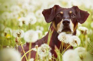 Las alergias caninas se manifiestan mediante picazón e inflamación de la piel. Foto: Ilustrativa / Pixabay