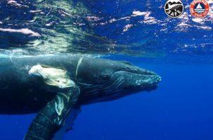 """Involucrar al sector marítimo internacional para evitar las colisiones de barcos con ballenas es el objetivo de la """"whale-safe""""."""
