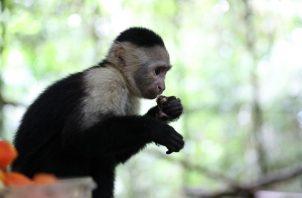 El primate fue decomisado semanas atrás en una vivienda que no contaba con las condiciones aptas para su desarrollo. Foto: Cortesía MiAmbiente