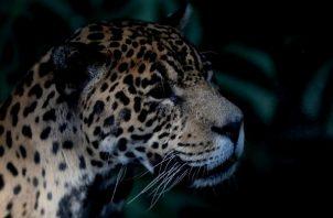 Más de 260 especies de vertebrados terrestres que han tenido interacciones negativas con las personas, 53 se encuentran amenazadas. Foto: EFE