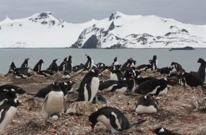 """Colonia de pingüinos papúa (""""Pygoscelis papua"""") en la península de Byers, una de las localidades incluidas en el estudio. Foto: EFE"""