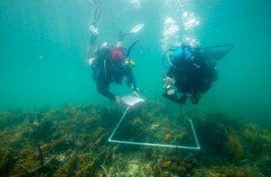 Inventarios de coral para caracterizar la comunidad de coral en el bosque de manglares y el arrecife somero adyacente. Foto: Heather A. Stewart