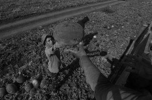 Como los puertorriqueños ya no trabajan en la agricultura, se ha recurrido a importar trabajadores extranjeros para recoger las cosechas. En otros renglones del trabajo, la situación es igual.  Foto: EFE.