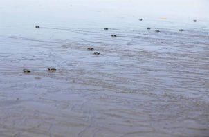 Tortugas Jóvenes en riesgo a causa del plástico . Foto: EFE