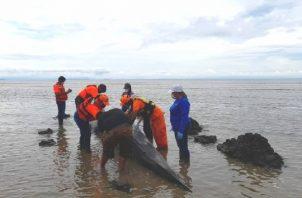 Los expertos comentaron que el cetáceo falleció por falta de alimento. Foto: Thays Domínguez