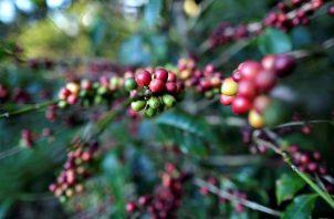 Planta de café geisha en Boquete, a las faldas del volcán Barú en la provincia de Chiriquí Foto: EFE