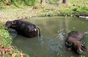Se entregó un plantel de seis búfalos machos y tres hembras, provenientes de fincas con una genética mejorada, producto de importaciones para el refrescamiento de la especie. Foto: Diomedes Sánchez