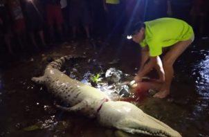 Un cocodrilo, presunto atacante de la niña, fue cazado por moradores del área y llevado a orillas del río. Foto: Diómedes Sánchez