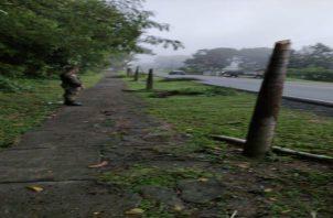 Algunas de estas palmeras fueron cortadas de raíz, mientras que otras por la mitad, todo estaba tirado a orillas de la vía. Foto: Mayra MAdrid
