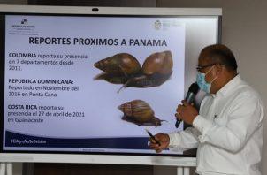 Ya se detectó la presencia del Caracol Gigante Africano en Costa Rica. Foto: Cortesía Mida
