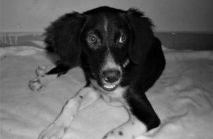 """""""Hachi"""" fue rescatado de las calles por la rescatista Juliette Carolina Chang, en Veraguas, y fue adoptado por una familia con la que hoy vive felizmente. Foto: Cortesía del autor."""
