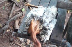 Pollos, gallinas y gallos se están muriendo de manera misteriosa. Foto: Melquiades Vásquez