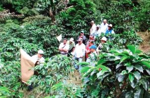 Este mes de septiembre inició la zafra de café en Boquete, Tierras Altas y Renacimiento. Foto: José Vásquez