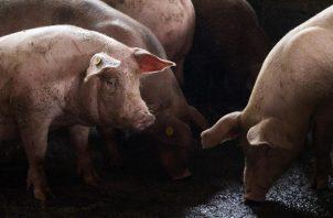 La peste porcina fue el tema en la Conferencia de Ministros de Agricultura de las América 2021. Foto: EFE