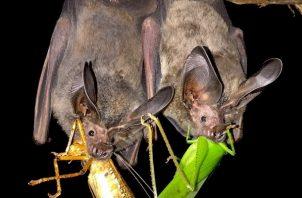 Los murciélagos polinizan flores y consumen millones de insectos noche tras noche. Foto: Cortesía Smithsonian
