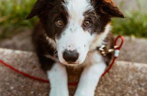 La artritis canina produce inflamación en las articulaciones. Foto: Ilustrativa / Pexels