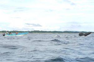 De julio a octubre de cada año, los llamados gigantes del mar llegan a las costas santeñas para reproducirse o con sus crías, como parte de su ciclo. Foto: Thays Domínguez