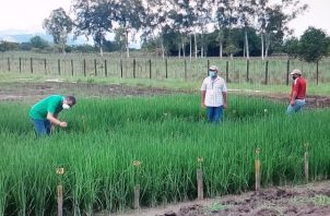 En Veraguas se han sembrado 17 mil quintales de la semilla ilegal de arroz. Foto: Eric A. Montenegro