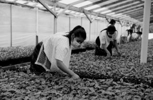 Mujeres cooperativistas de Guatemala, de comunidades campesinas, aplican prácticas agroforestales en sus cultivos,  para enfrentar el cambio climático y la sequía, según informes de la FAO. Foto: EFE.
