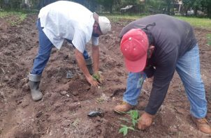 Los dos tipos de semilla provienen del Centro Internacional de Agricultura Tropical (CIAT) con sede en Colombia. Foto/Eric Montenegro