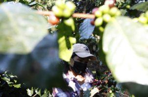 Realizan monitoreo para ver qué enfermedades atacan al cultivo. Foto: MiAmbiente